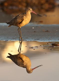 Marbled Godwit reflection - (CC)Mike Baird - www.flickr.com/photos/mikebaird/5176032423/in/set-72157621825319127#