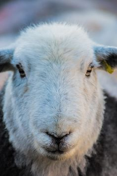 ♥ ~ ♥ Sheep ♥ ~ ♥ There's a whole Herdwick fleece in every kingsize mattress! And the fell farmers are paid CONSIDERABLY more than the industry standard for the fleece! Sheep Art, Counting Sheep, Sheep And Lamb, Love Bugs, Lake District, Four Legged, Farm Life, Cattle, Beautiful Creatures
