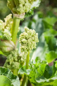 Rhubarb Plant Seeds – How To Collect Rhubarb Seeds For Planting I let my rhubarb flower. But, hey, I enjoyed a splendid show of flowers and now have a rhubarb seed collection for planting more rhubarb next year! So, if you're feeling rebellious, click here to learn more about how to collect rhubarb seeds for planting next year.