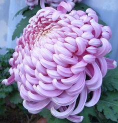 Pink Chrysanthemum Flower Pink chrysanth