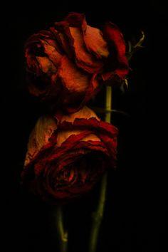 Le croissant d'argent ~ red roses