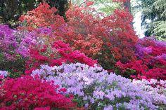 Biltmore Estate gardens - Azalea Explosion