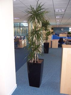 Marginata (Dracaena Marginata):Tolerates A Wide Range Of Indoor  Temperatures. For Best