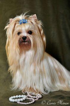 Yorkshire Terrier – Energetic and Affectionate Biewer Yorkie, Yorkie Puppy, Yorkies, Cute Puppies, Cute Dogs, Dogs And Puppies, Yorkie Haircuts, Yorshire Terrier, Dog List