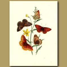 Aphrodite buttterflies. Antique lithograph of butterflies by Henry Humphreys. I