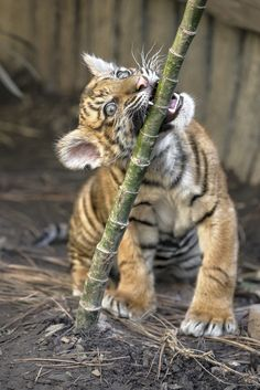 """sdzsafaripark: """" Take a bite out of life! Read about Suka's rocky start &…"""