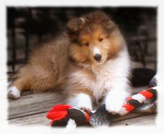 Shelties! I remember when my Taz used to be this cute! Just kidding he is still cute.