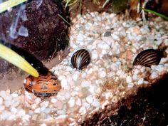 Neritidae – Putzkolonne im Aquarium