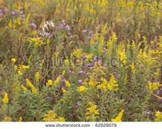Goldenrod, asters, and other prairie wildflowers