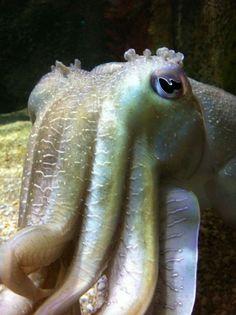 cuttlefish at Melbourne Aquarium. Also LOVE cuttlefish, thanks to National Zoo in Washington, D. Beautiful Fish, Beautiful Wall, Coral Aquarium, Aquarium Supplies, Under The Ocean, Cuttlefish, Deep Blue Sea, Cichlids, Underwater World