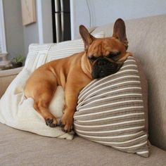 "Extra comfy pre-bedtime nap. Russell, the French Bulldog, <a class=""pintag searchlink"" data-query=""%23russellthefrenchie"" data-type=""hashtag"" href=""/search/?q=%23russellthefrenchie&rs=hashtag"" rel=""nofollow"" title=""#russellthefrenchie search Pinterest"">#russellthefrenchie</a>"