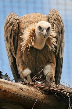 ~Vulture! by Tambako the Jaguar, via Flickr~ | See more about birds.