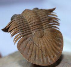 Platyscutellum Moroccan (Middle Devonian, Foum Ziguid, Morocco)