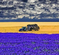 A field of lavender. France, Provence, cloudy.