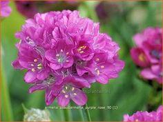 Armeria pseudarmeria 'Purple Rose'   Engels gras jun jul 25 z hs n