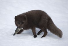 Arctic Fox, Red Fox, Foxes, Iceland, Fish, Animals, Ice Land, Animales, Animaux