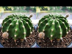 Kaktüs Bakımında Püf Noktalar - YouTube Exotic Plants, Cactus Plants, Spinach Leaves, Mixed Nuts, Cactus Y Suculentas, Baby Knitting Patterns, Fresh Herbs, Backyard Landscaping, Agriculture
