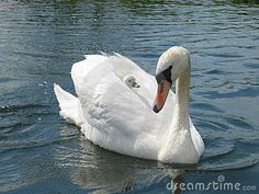 Baby Swan | Swan With Baby Stock Images - Image: 51364