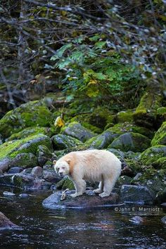 Albino Black Bear - the gaels and mohawk/american natives too believed in white animals as strong spirit creatures from otherworld - bearing visions of future and a strong totem. Spirit Bear, Spirit Animal, Weird Creatures, All Gods Creatures, Wildlife Photography, Animal Photography, Rare Albino Animals, Melanism, N Animals