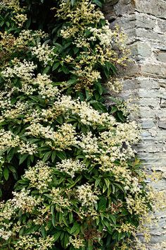 Plants for shade: climbing hydrangea (Pileostegia viburnoides). This large, slow-growing climber will happily grow in full shade, when grown in a sheltered, well-drained location. Find more climbers here http://www.gardenersworld.com/search/articles/climbers/