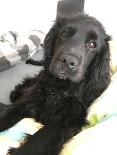 Black Cocker Spaniel, Springer Spaniel Puppies, Cute Dogs And Puppies, Doggies, Animals And Pets, Cute Animals, Pet Loss Grief, Working Cocker, Cockerspaniel