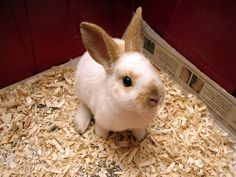 Mini Rex rabbits, like this one (& my pet rabbit), have really soft fur.