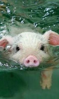 Such a sweet baby pig. Pig of the Day: 12/03/12
