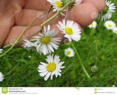 Bildergebnis für gänseblume verknoten