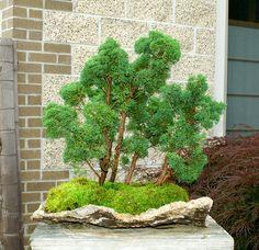 Bonsai Tree Shimpaku Juniper Raft Lace Rock Planting SJRLR 520A | eBay