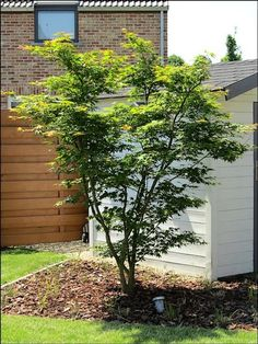 Small Trees For Garden, Small City Garden, Small Gardens, Modern Landscaping, Landscaping Plants, Outdoor Trees, Outdoor Gardens, Acer Palmatum, Garden Deco