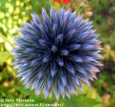 Sinipallo-ohdakkeen kukka