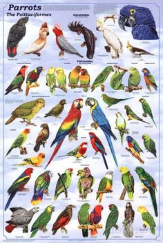 A fantastic poster of colorful Parrots and other psittacine birds! Perfect for bird watchers and pet stores. Check out the rest of our great selection of Birds posters! Need Poster Mounts. Parrot Pet, Parrot Toys, Parrot Bird, Colorful Parrots, Colorful Birds, Tropical Birds, Parrot Facts, Animals And Pets, Cute Animals