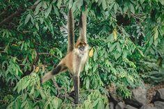 Reposting @soturg: Smiling for the camera 🐵 . . . . . . . #Nicaragua #Granada #monkey #animals #island #instagood #nationalpark #forest #neverstopexploring #traveltheworld #ig_travel #travel #nature #quebec_travelers #instatravel #travelgram #rei1440project #beautifulplaces #montreal #igersmontreal # #mtlblogger #nomadjunkies #outdoors #ourdailyplanet #neverstopexploring #outsidemagazine #wildernessculture #photooftheday #quebec #travelling Outside Magazine, Never Stop Exploring, Granada, Quebec, Montreal, Wilderness, Diabetes, Monkey, Travelling