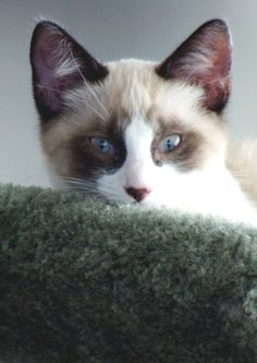 This is Grayson, my snowshoe baby.