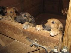 Greyhound puppies - looks like they're in a kennel, I want to bring them home!