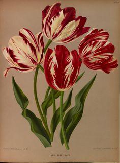 Tulips - circa 1881