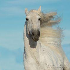 Incredible white Lusitano image by Tamara Gooch Photography.