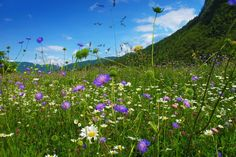 Spring flowers in the Slovenian mountains.