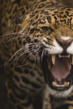 Say it with a roar, big cats