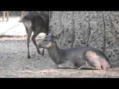 Venado sika (Cervus nippon) Zoológico de Chapultepec
