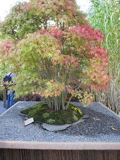 Japanese Maple Bonsai - Acer palmatum