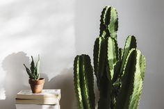 2 bold cactus | House plants, potted plants, and succulents | botanical design