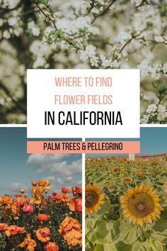 The best flower fields in California - Palm Trees & Pellegrino California travel tips. As I travel through California, I'm always on the hunt for a fabulous flower field. Whether it's a farm off to the side of the road or a more well-known place, I've been slowly checking spots off my list. This list will be ever growing as I find more spots! Keep reading for the best flower fields in California. Usa Travel Guide, Travel Usa, Travel Guides, Travel Tips, Travel Destinations, Northern California Travel, California Palm Trees