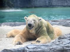 It is interesting to compare Polar bear vs grizzly bear fight. There is lot of comparison and difference between both Grizzly and Polar bear. Read further to know which bear will win. Animals Amazing, Large Animals, Polar Bear Climate Change, Polar Bear Hunting, Vulnerable Species, Singapore Zoo, Dental Problems, Singapore, Animals