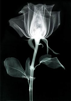 i like this because you can see inside the flower and  it looks like an x-ray picture this makes it makes it stand out