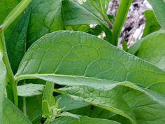 La+Consoude,+une+plante+indispensable+aux+permaculteurs+!