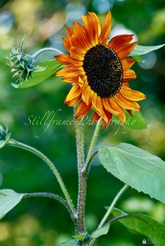 Beautiful Fall Sunflower by heatherganter on Etsy, 8 x 10 $25.00