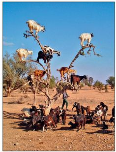 Agadir, Morocco -Goats and an Argan tree - Sometimes photography is just all about the timing ....