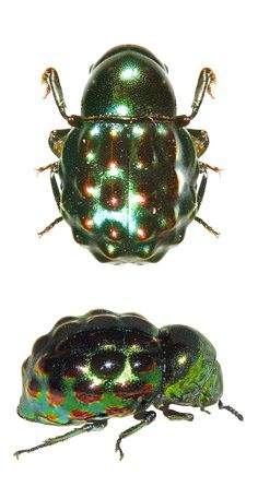 Pedilophorus gemmatus - ELATERIFORMA, subfamily BYRRIDAE (pill beetles, able to retract head & appendages into matching grooves on the body).
