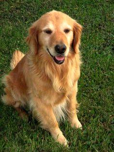 Golden Retrievers; Buster.